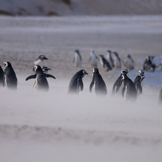 Wildlife - Falklands: Carcass Island: Ge