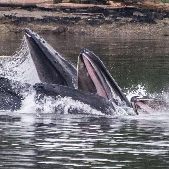 Wildlife Humpback Whales bubble net fish