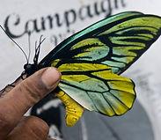 PNG 2012_ Queen Alexandra Birdwing - Collison Matuhe & QAB__ Male (1).jpg