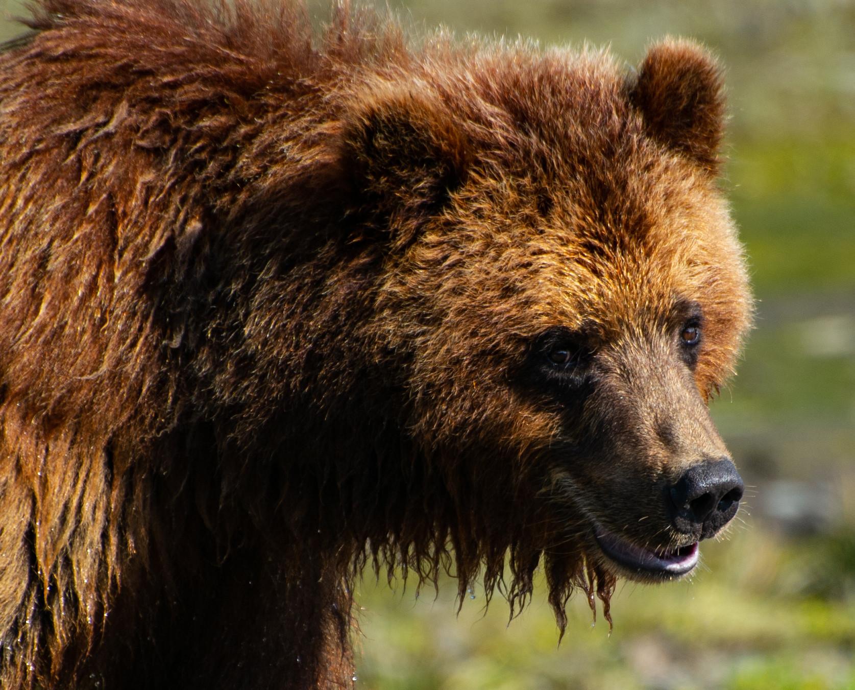 Wildlife Pack Creek grizzly bears-27.jpg