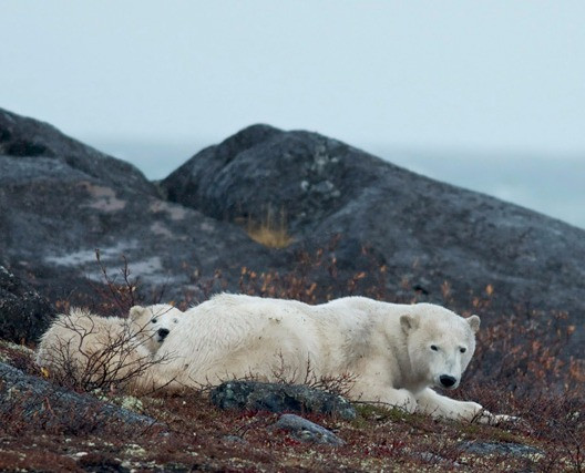 Wildlife - canada-polarbear_edited.jpg