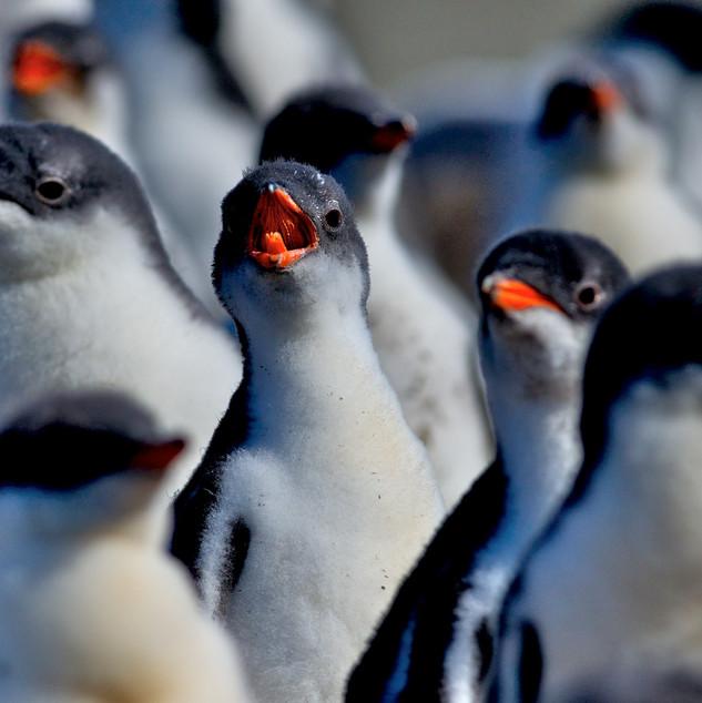 Wildlife Antarctica: Gentoo Penguin Rook