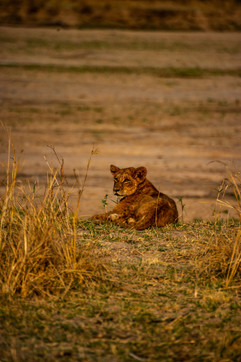 Africa - lion cub on game drive from bus