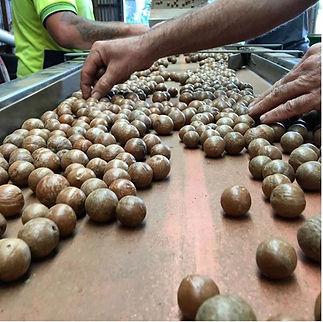 Macadamia sorting Duck Creek Macadamias.jpg
