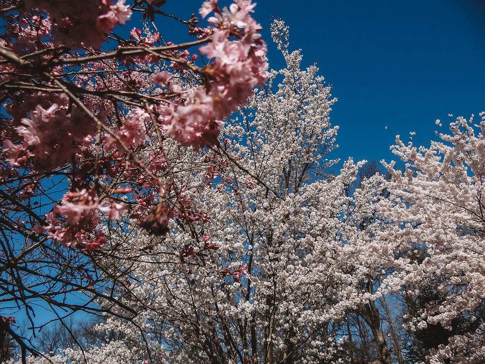 Cherry Blossoms blooming in Branch Brook Park