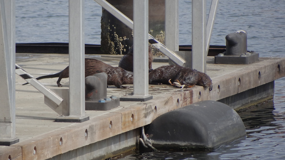 Otters enjoying the inner harbor.