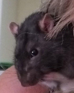 Clever Ratty