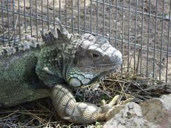 'L' An Iguana