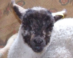 'Lucy' lamb