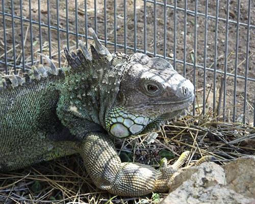 'L', An Iguana