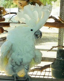 A Cocky Cockatoo