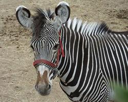Rare Grevy's Zebra