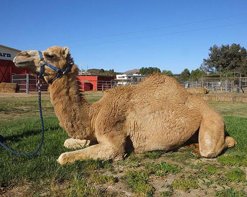 'B', a Dromedary (Arabian) Camel
