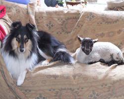 'Lassie' & 'Lucy' lamb