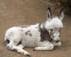 """""""Maddi"""", Miniature Donkey"""