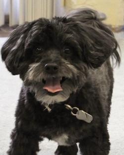 A Havanese Pup
