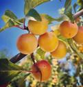 mirabell plums 2- 7.14.21 2.jpg
