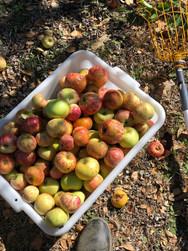 apples at Grandview.jpg