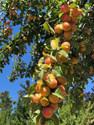 mirabell plums 7.14.21 2.jpg
