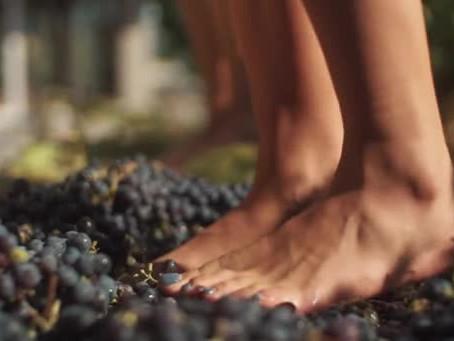 Conheça a tradição da pisa das uvas