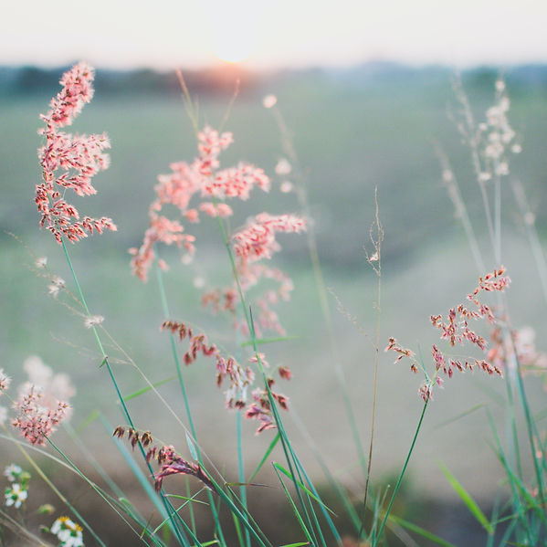 a close up of pink field grasses