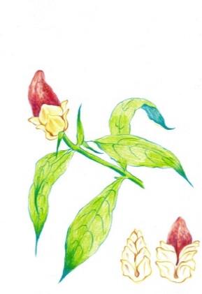 김영래, <새치혀꽃>, drawing