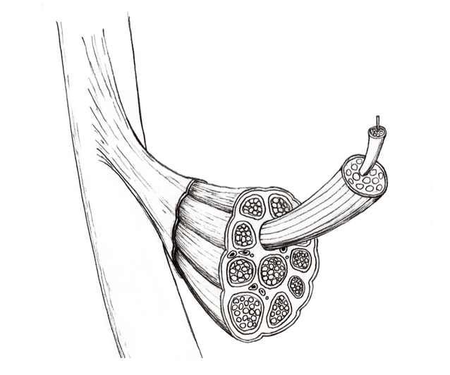 The Da Vinci Project, Part One. Basic Design Principles: The Contractile Function of Muscle