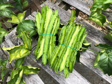 四联豆 4 Angled Beans