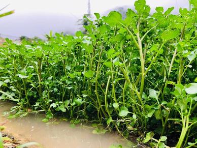 山水西洋菜 Watercress