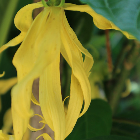"""THE FLOWER OF FLOWERS""! AN EXOTIC JOURNEY WITH YLANG-YLANG ESSENTIAL OIL"