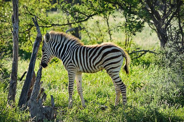 Zebra_Calf.jpg