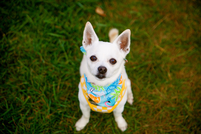 Confessions of a Rehab'd Chihuahua
