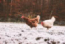 Hühner-Winter.jpg