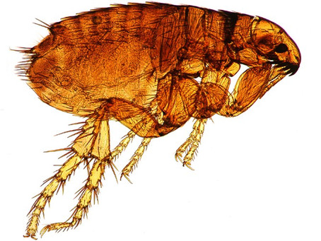 Flea Bites 101