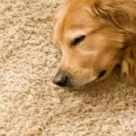 Carpet Cleaning Dog