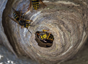 How to find a wasps nest