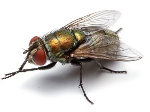 The House Fly: More Than Just a Household Annoyance