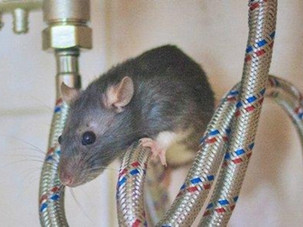Best Rodent Control Company in Auckland