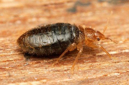 Bed Bugs Problem in your Home