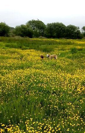 dogs in field
