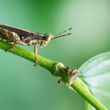 A bug's future: Entomophagy