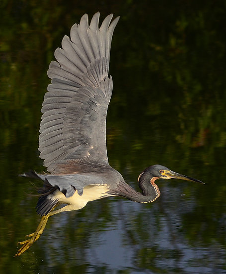 Tri Colored Heron 2