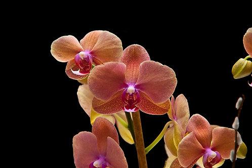 Peach Moth Orchid