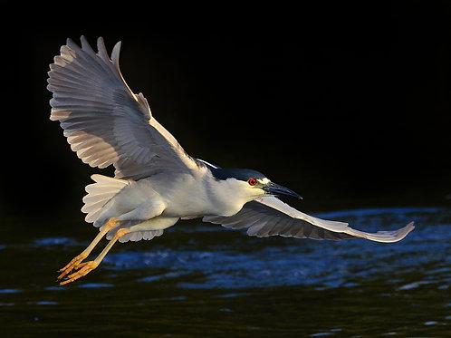 Black Crowned Night Heron, Everglades National Park
