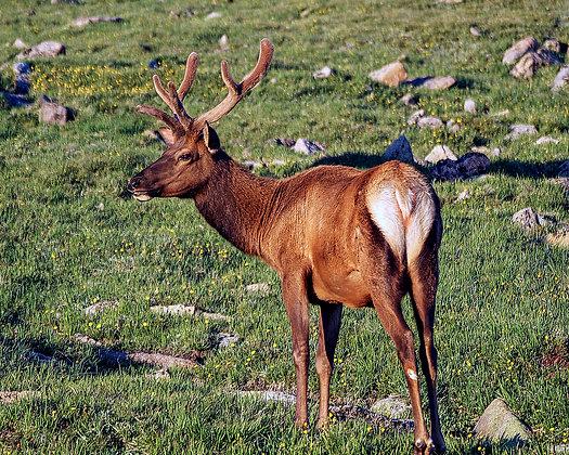 Elk (Juvenile)