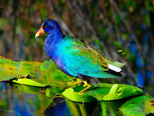 Purple Gallinule 2