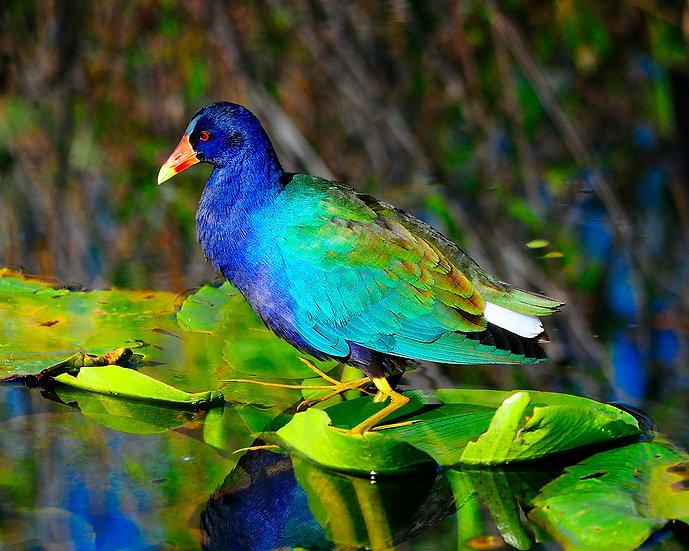 Purple Gallinule 2