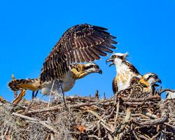 Osprey Family 2