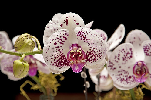 White & Purple Moth Orchid