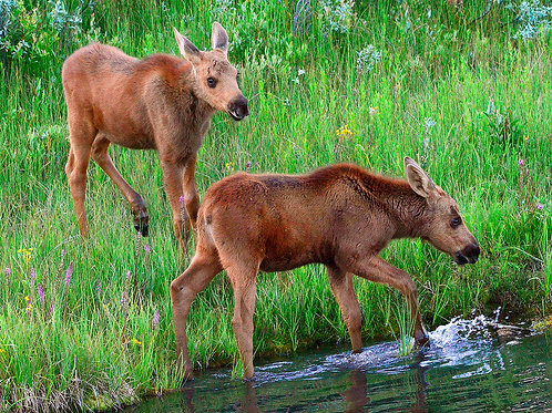 Baby Moose Calves, Grand Teton National Park